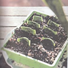 """Thrifty Gardener: How To Propagate A Snake Plant - cut off 1 leaf - slice in 3/4"""" horizontal pieces (remember which is up/down!) - plant each in soil and keep moist - wait a few months for pieces to sprout new growth"""
