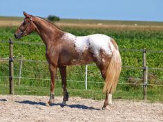 My beautyful Appaloosa mare
