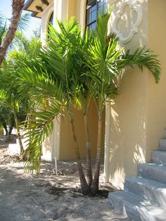 dwarf royal palm (triple)