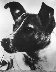 Laika, the first living creature sent into space, never meant to return to Earth, 1957.