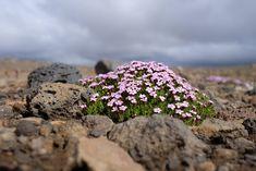 Silene acaulis moss campion Icelandic Highland