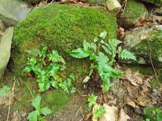 Asplenium scolopendrium - Hart's tongue fern