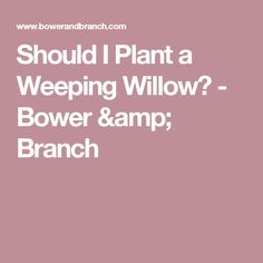 Should I Plant a Weeping Willow? - Bower & Branch