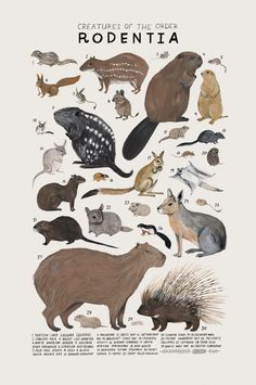 Animal Drawings Creatures of the order Rodentia, Art print of an illustration by Kelsey Oseid. This poster chronicles 30 mammals from the taxonomic order Rodentia. Printed in Minneapolis on acid free 80 Animal Drawings, Art Drawings, Drawing Animals, Drawing Sketches, Animals And Pets, Cute Animals, Animal Posters, Animal Art Prints, Tier Fotos