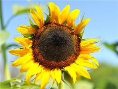 Hopi Black Dye - Sunflower; This rare Hopi heirloom is hard to find and was used for making dye. The seeds will even stain your hands purple when you pick them. Was spring-planted in the high cool desert by the Hopi. An interesting piece of American history.