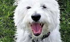 Online Fundraiser for the No Kill Rescue Westies In Need!