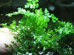 WTB Glorious Fissidens moss and mini bolbitis Aquarium Garden, Planted Aquarium, Aquarium Ideas, Fish Tank Design, Freshwater Aquarium Plants, Green Lettuce, Tropical, Terrarium Plants, Aquatic Plants
