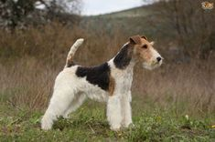 Fox terrier hereditary health and genetic diversity Wire Fox Terrier Puppies, Chien Fox Terrier, Le Terrier, Wirehaired Fox Terrier, Terrier Dog Breeds, Terrier Rescue, Dog Test, Group Of Dogs, Dog Groups