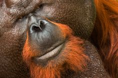 "MAN OF THE FOREST : The word orangutan means ""man of the forest"" in the Malay language. Their forest habitat is fast disappearing to make way for oil palm plantations and other agricultural plantations. Learn more….."