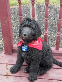 Our Oliver. He's a Goldendoodle. Goldendoodles, Old Women, Dog Stuff, Garden Landscaping, Puppies, Pets, Lady, Sweet, Animals