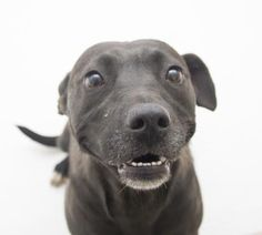Petango.com – Meet Rose, a 2 years Retriever, Labrador / Terrier, American Pit Bull available for adoption in DECATUR, GA