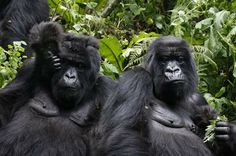 Gorilla Adventure - Rate: From US$1,826.00 per person for 3 Nights
