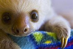 cute baby sloth is cute