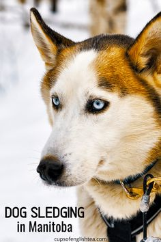 Faire du traineau à chien au Manitoba, c'est possible !  #manitoba #dogsledging #winteractivities Promenade Architecturale, Pvt Canada, Husky, Dogs, Fear Of Dogs, Cross Country Skiing, Animaux, Pet Dogs, Doggies
