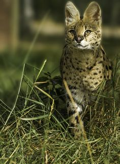 Serval by colinlangford1 via http://ift.tt/2cLmbVz