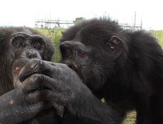 Billy and Daisy grooming at Save the Chimps