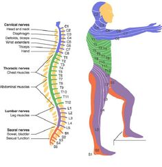 Spinal cord injuries have catastrophic impact. Caused by trauma to the spinal column, often from a car accident, slip and fall or other types of accident. Nerve Anatomy, Body Anatomy, Heart Anatomy, Spinal Cord Injury Levels, Spinal Cord Anatomy, Spine Health, Medical Anatomy, Human Anatomy And Physiology, Sup Yoga