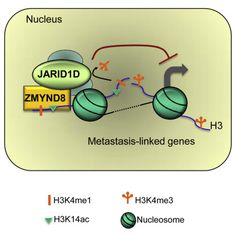 ZMYND8 has anti metastasis function in prostate cancer http://www.cell.com/molecular-cell/fulltext/S1097-2765(16)30293-3