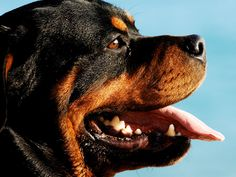 wallpapers rottweiler - Buscar con Google