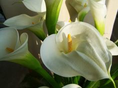 Calla Lily are Outdoor Plants by nature but can be grown indoor by paying some extra attention. The botanical name of Calla Lily is Zantedeschia Aethiopica. Lys Calla, Calla Lillies, Calla Lily, Flowers Perennials, Planting Flowers, Exotic Flowers, Beautiful Flowers, Lilly Plants, Lily Care