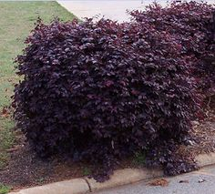 Purple Diamond Loropetalum is a great evergreen low growing shrub.  It is different than the most common loropetalums because of its low growth habit and redder color.  It also is covered in red flowers in spring.