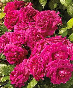 Courtyard® Rosa rampicante 'Kolo'