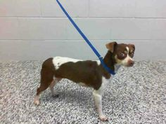 SAFE --- VERY URGENT - This DOG - ID #A459042 Available 1/8  I am a female, white and brown Chihuahua - Smooth Coated mix. Shelter staff think I am about 1 year old. I have been at the shelter since Dec 28, 2013.   If I am not claimed, after my stray holding period, I may be available for adoption on Jan 08, 2014. ...  City of San Bernardino Animal Control-Shelter. https://www.facebook.com/photo.php?fbid=10201764607374486&set=a.10201187177339096.1073741865.1160364024&type=3&theater