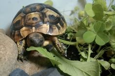 Hermans Tortoise - Turdy in weed heaven!