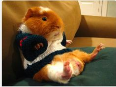 Guinea pig chillaxin in a sweater..adorable!