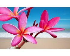 WYPRZEDAŻ! KWIAT HAWAJSKI - FRANGIPANI - PLUMERIA RUBRA DIVINE lub ALBA do wyboru - KWIAT ZAŚLUBIN / SYMBOL NIEŚMIERTELNOŚCI! - IT | CYTRUSY - Internetowa sprzedaż roślin doniczkowych