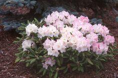 Rhododendron 'Ken Janeck'  plant habit, flowering