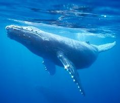 Baby humpback whale dies after beaching in Hawaii