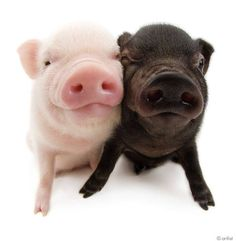 ATTENTION! We are NOT mini, micro, teacup, etc.  Pigs that STAY SMALL , do NOT Exist  !!