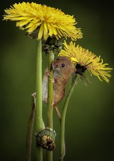 FIELD MOUSE 2: Photo by Photographer JACQUELINE GENTRY