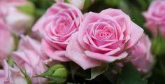 Růže jsou ozdobou každé zahrady