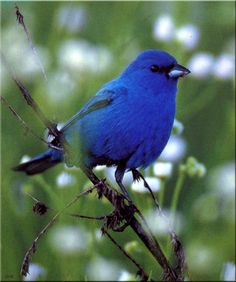 Indigo Bunting Bird | Birds of North America] Indigo Bunting (Male); DISPLAY FULL IMAGE.