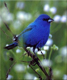 Indigo Bunting Bird | Birds of North America] Indigo Bunting (Male); DISPLAY FULL IMAGE.