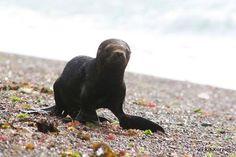 #PUPPY #SEAL #PATAGONIA #ARGENTINA #ANIMALS #ANIMALIST