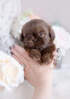 Toy Teacup Puppies For Sale & Teacups, Puppies & Boutique & Part 5 Source. The post Toy Teacup Puppies For Sale Shih Tzus, Shih Tzu Hund, Perro Shih Tzu, Shih Tzu Puppy, Pet Puppy, Pomeranian Puppy, Husky Puppy, Maltese Shih Tzu, Shitzu Puppies