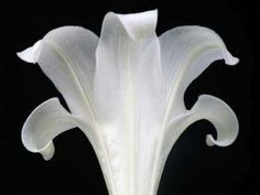 Cuadro lily on Black III