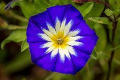 Magic blue - magic blue flower in garden