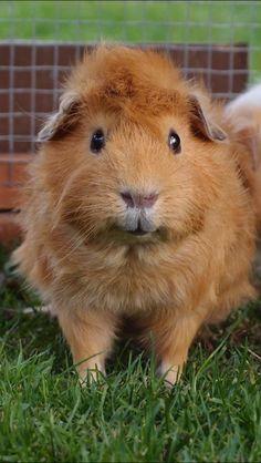 Sweet Guinea pig