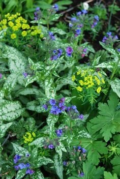 pulmonaria and ferny euphorbia for a zingy late spring-early summer contrast with long lasting foliage interest the rest of the summer