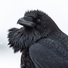 Bob Ross Art, Jackdaw, Grand Teton National Park, Dark Beauty, Linocut Prints, Crows, Ravens, Beautiful Birds, Twitter