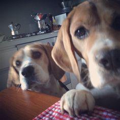 beagles r best in pairs
