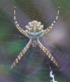 A very cool spider. Its abdomen reminds me of a rib cage. Very neat.