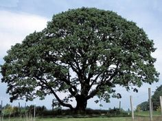 Google Image Result for http://www.mahonianursery.com/gallery/images/oregon-white-oak-native_597.jpg