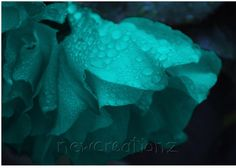 Turquoise Rose with raindrops print by NewCreatioNZ on Etsy, $25.00