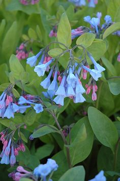 Virginia Bluebells (Mertensia virginica) shade. Competes well. Will yield to other plants later