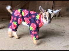 A Pair of Adorable Baby Goats Spend a Cold Rainy Day Inside a Barn Clad in Colorful Pajamas